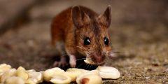كيفية مكافحة الفئران